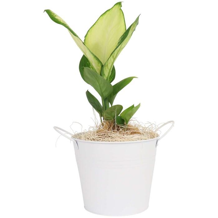 Image of Mothers Day Indoor Plant in White