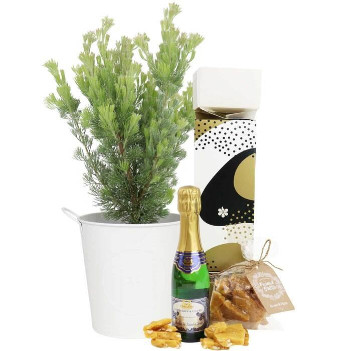 Image of Mothers Day Christmas Succulent with Sparkling - Adelaide Only