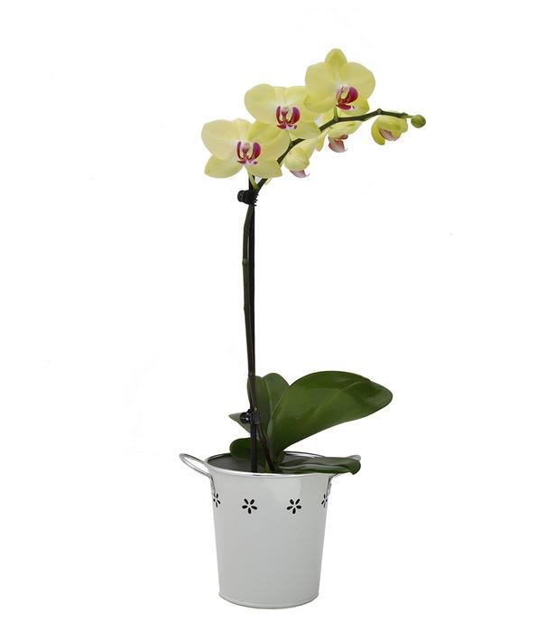 Image of Mothers Day Pick of the Day Single Spike Orchid