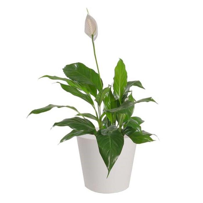 Image of Mothers Day SLB Peace Lily in Ceramic Pot