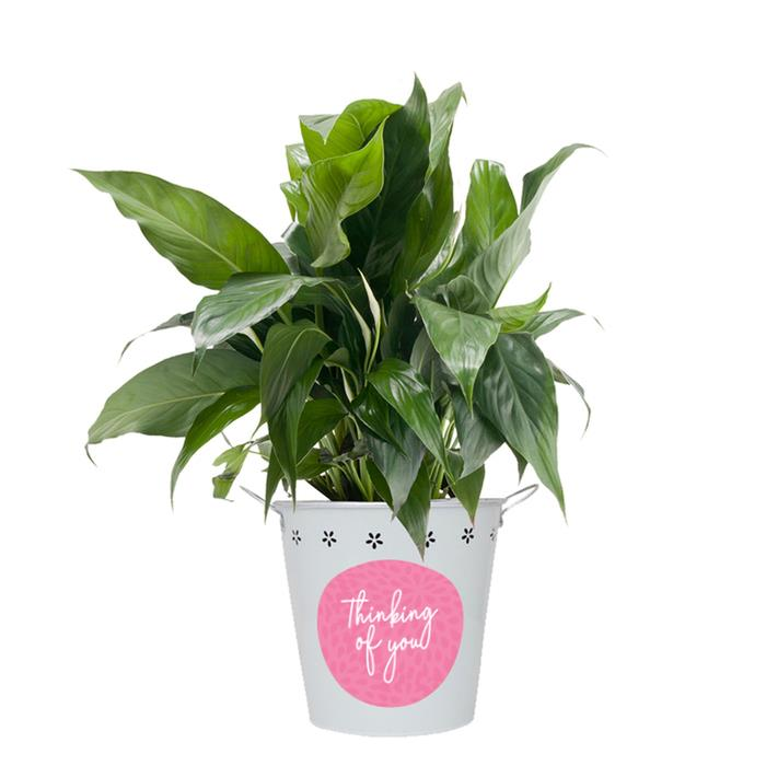 Edible Blooms : Thinking of You Peace Lily