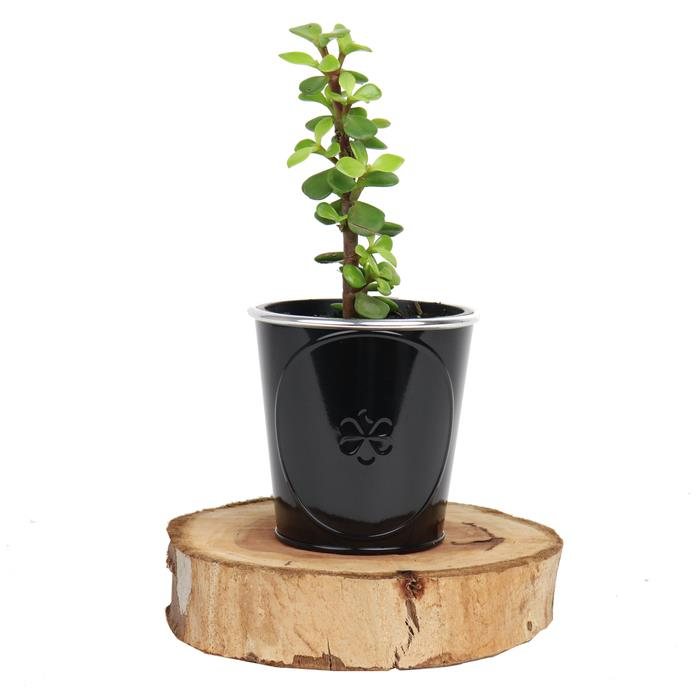 Image of Mothers Day Money Tree in Black Tin
